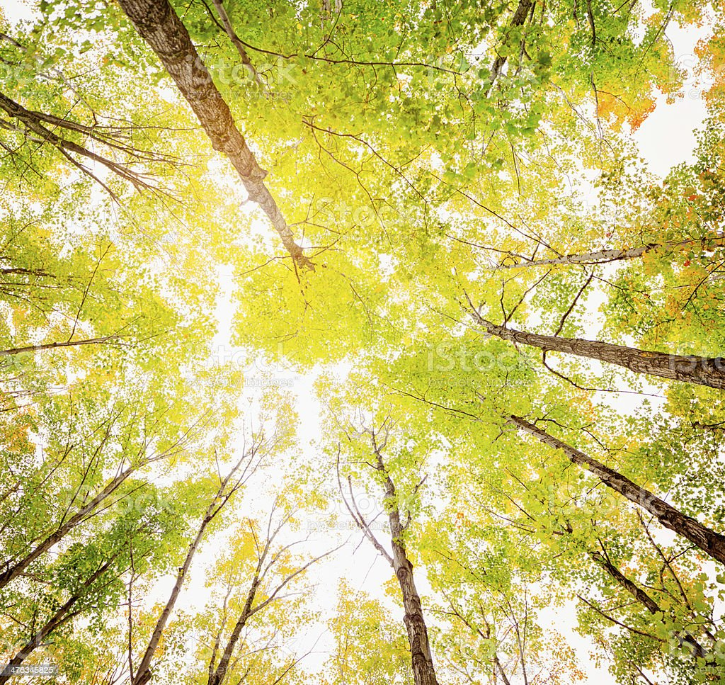 Back Lit Autumn Forest from Below royalty-free stock photo