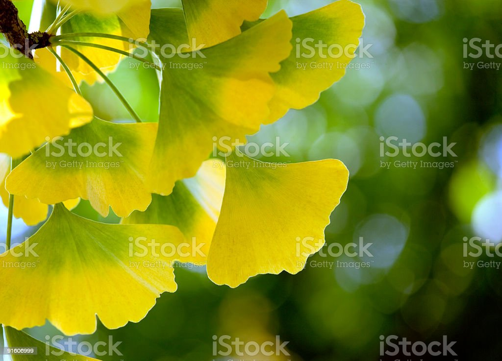 Back lit Close-up of Ginkgo Biloba leaves (XL) stock photo