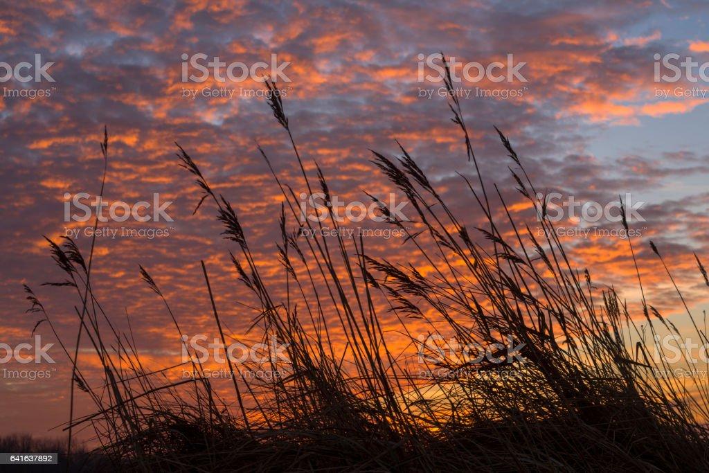 Back lit common reed under romantic sky stock photo