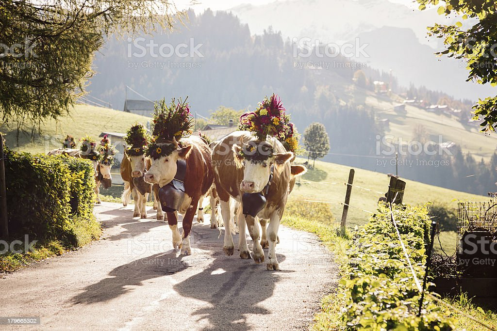 Back Lit Decorated Cows on Swiss Alpine Road stock photo
