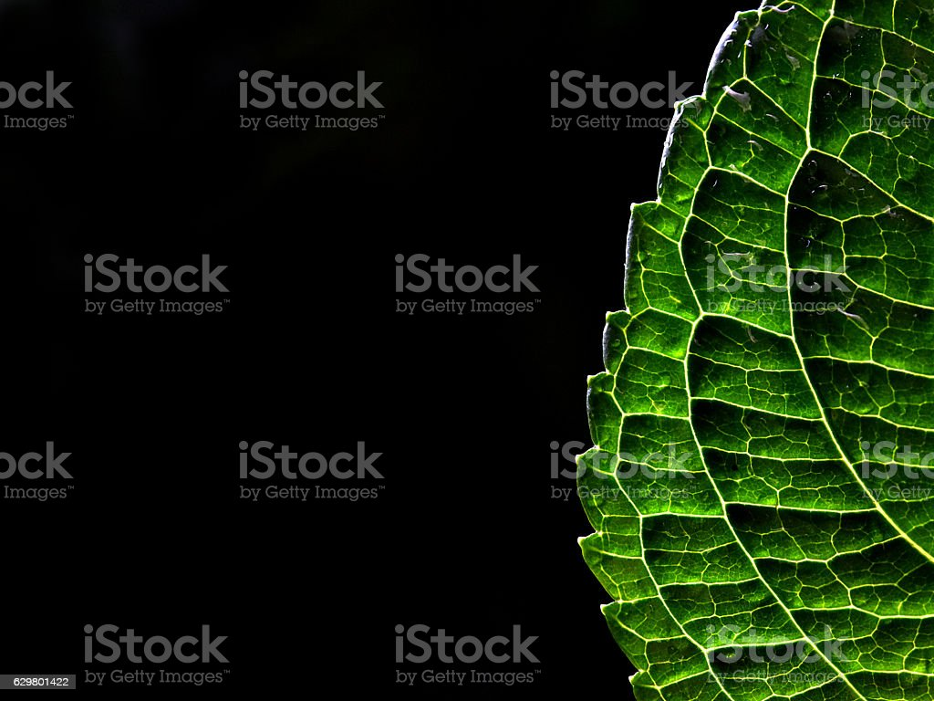 Back lit leaf stock photo