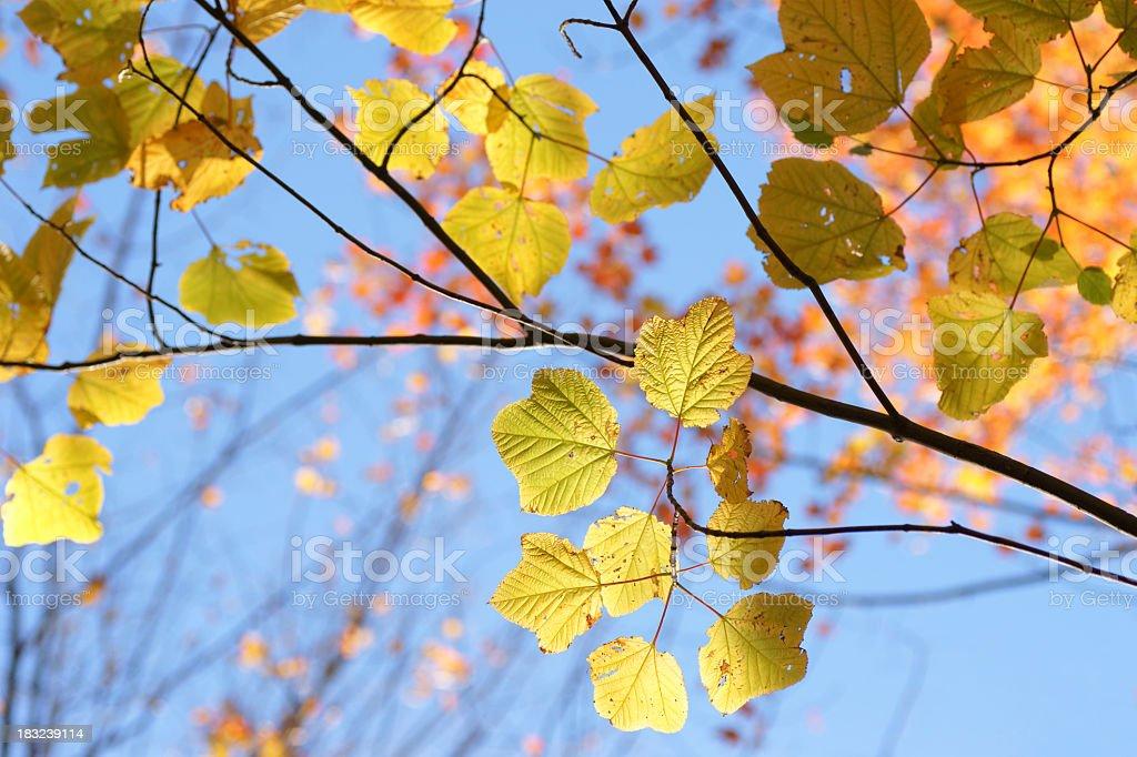 Back lit leaves, Autumn. stock photo