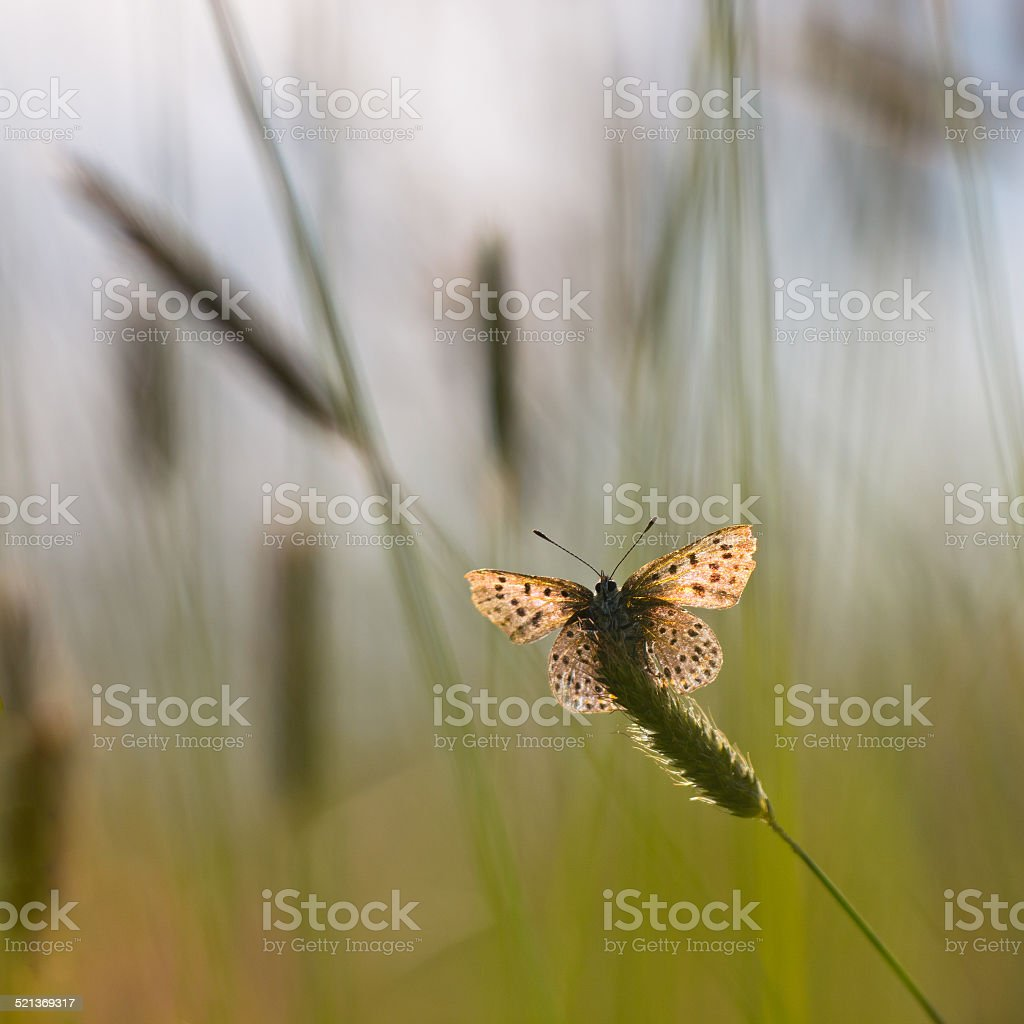 Back Lit Sooty copper Butterfly stock photo