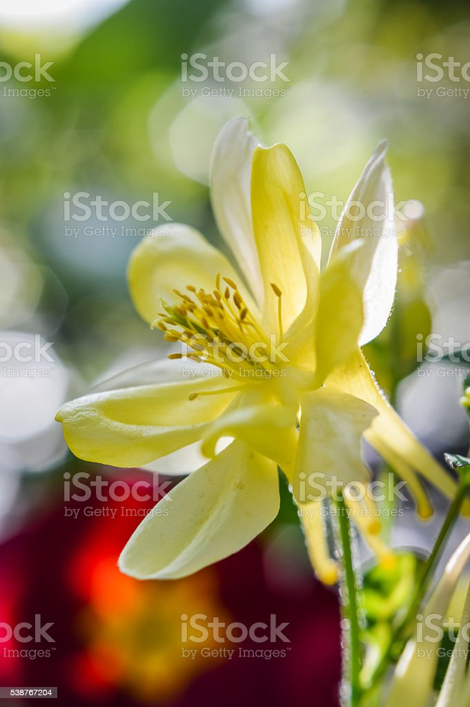 back lit yellow and white columbine flower stock photo