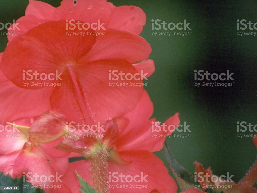 Back of a Begonia royalty-free stock photo