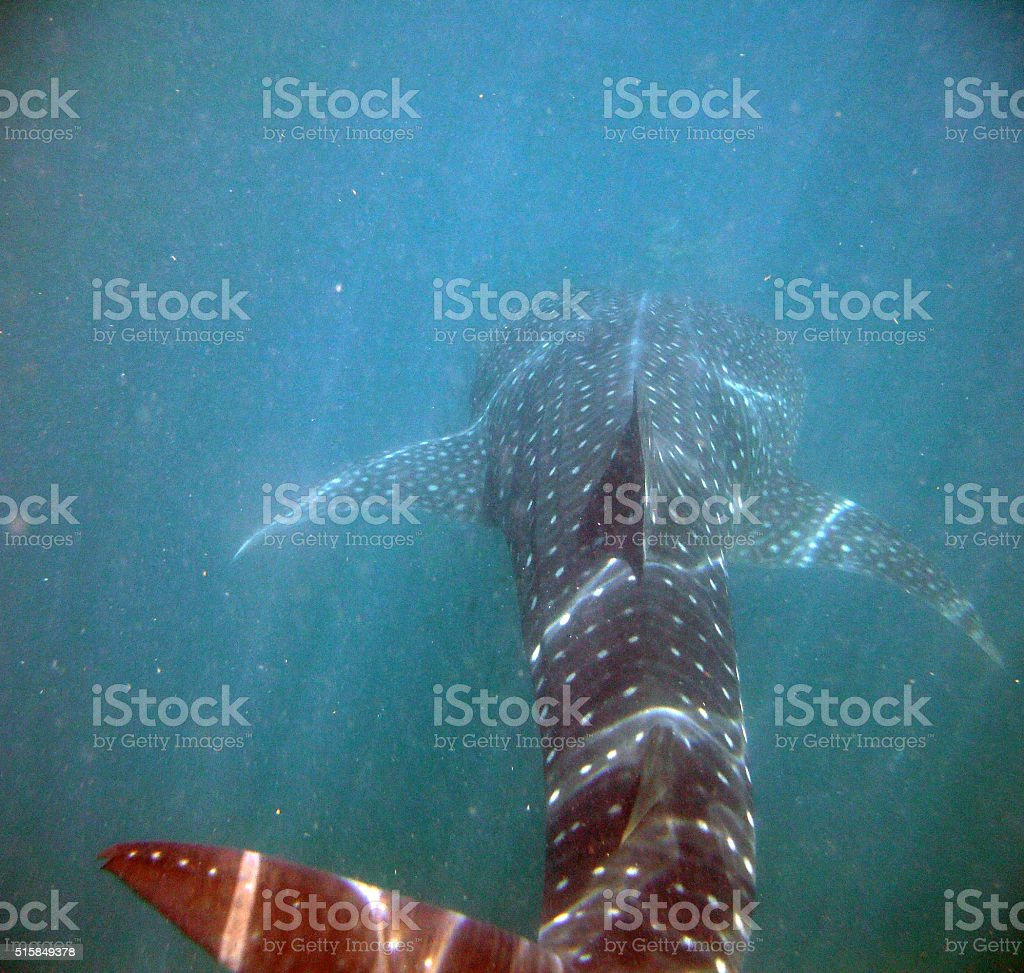 Back of a Whale Shark in the Caribbean Sea stock photo
