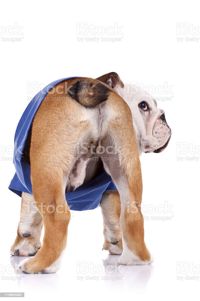 back of an english bulldog puppy royalty-free stock photo