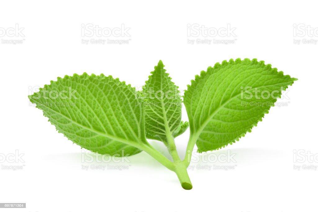 back of green leaves (Country Borage,Indian Borage,Coleus amboinicus Lour( Plectranthus amboinicus (Lour.)) isolate on white background. stock photo