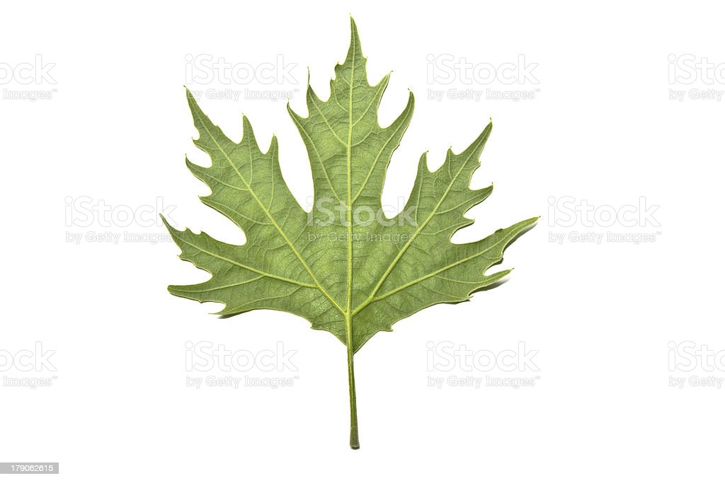 Back of Green Maple Leaf isolated on white royalty-free stock photo