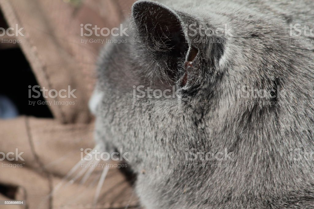 Back of grey cat's ear and head stock photo