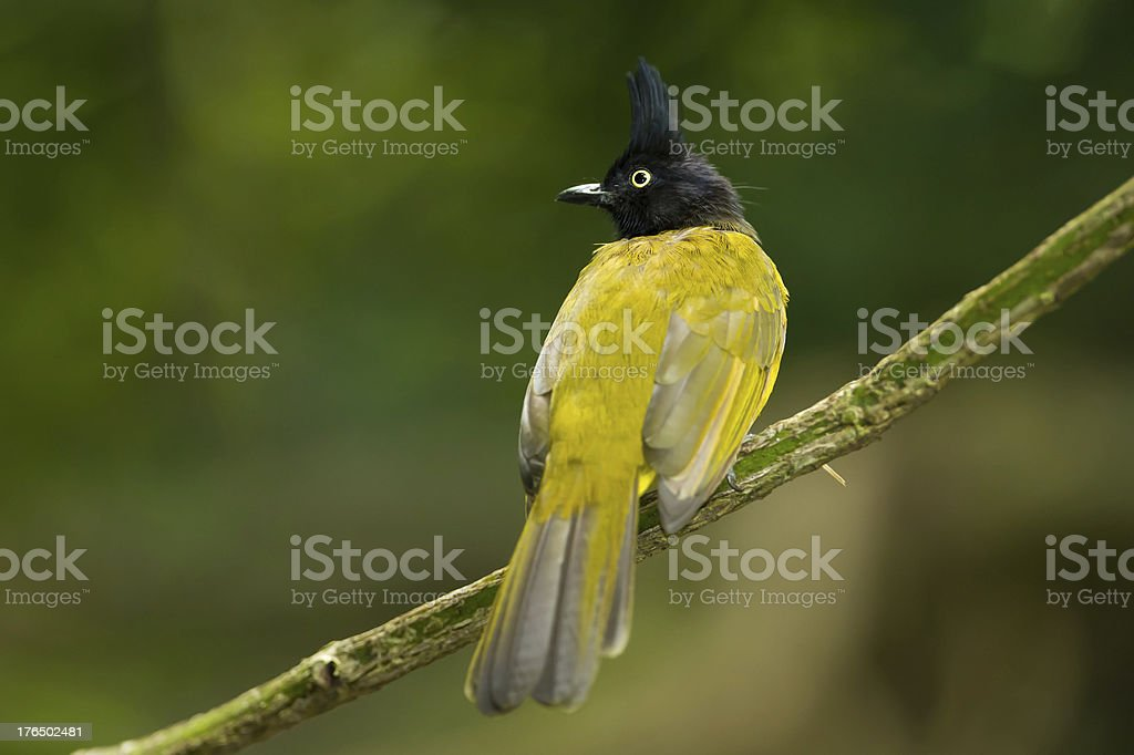 Back side of Black-crested Bulbul royalty-free stock photo