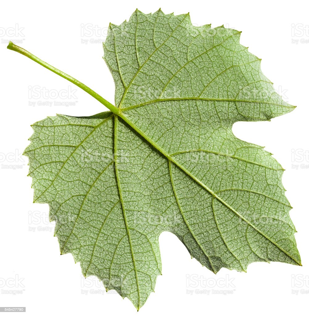back side of green leaf of grape vine plant stock photo