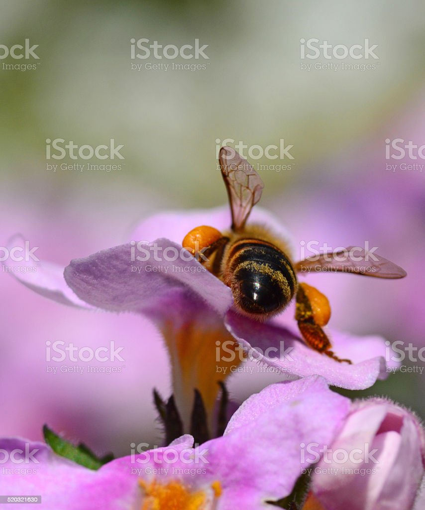 Back stage of bee pollination stock photo