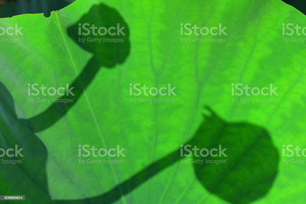 Back to back flower bud shadows cast onto Lily pad stock photo