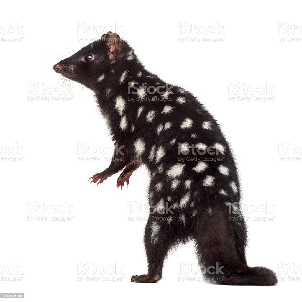 back view of a Quoll isolated on white stock photo