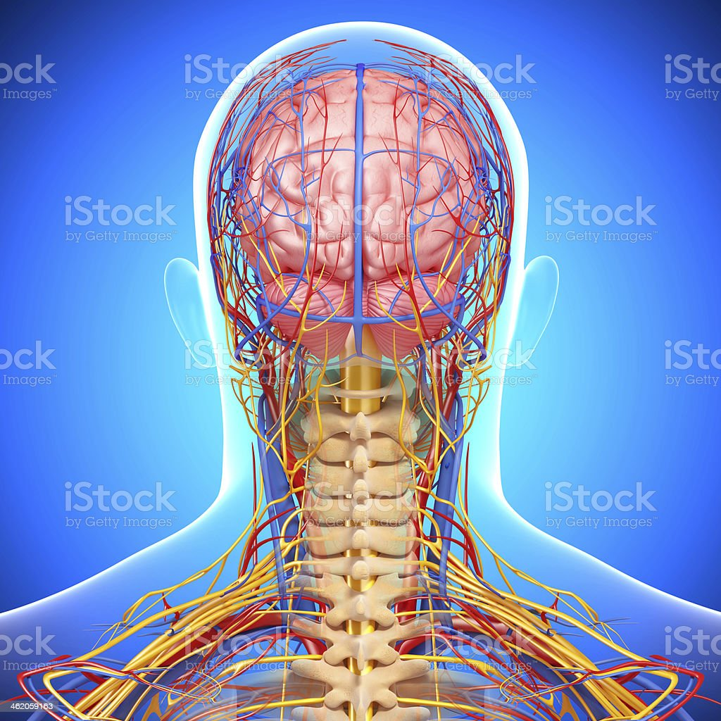 back view of head circulatory system and nervous royalty-free stock photo