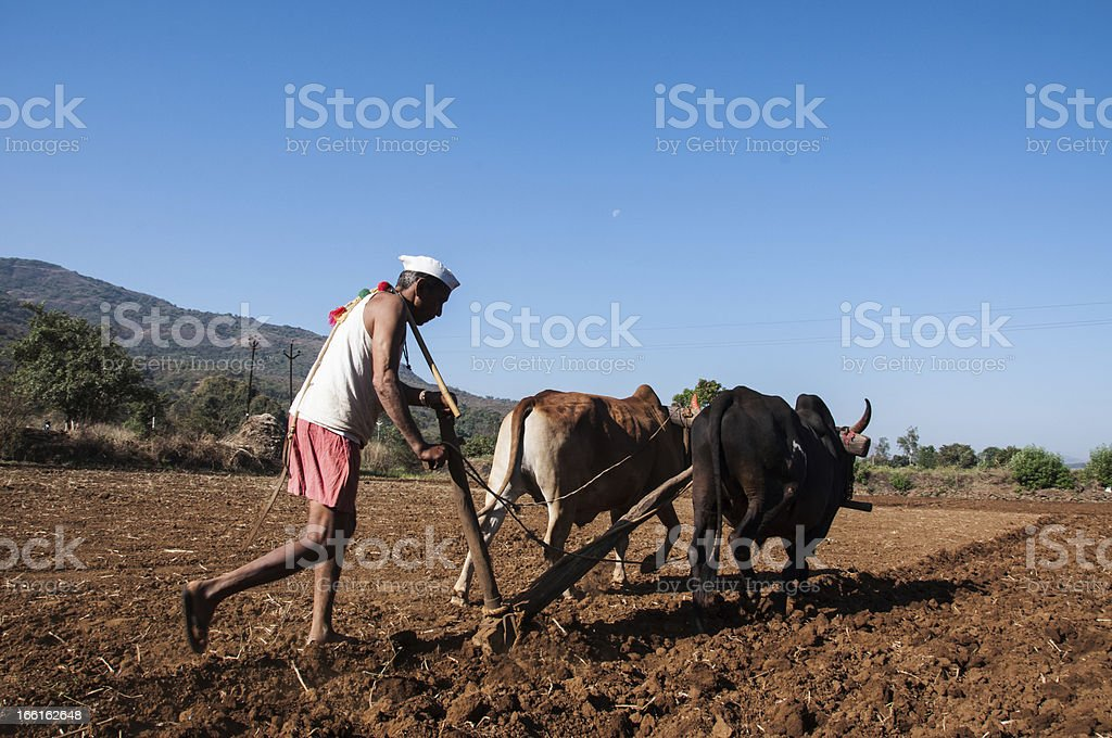 back view of indian farmer with his animals royalty-free stock photo