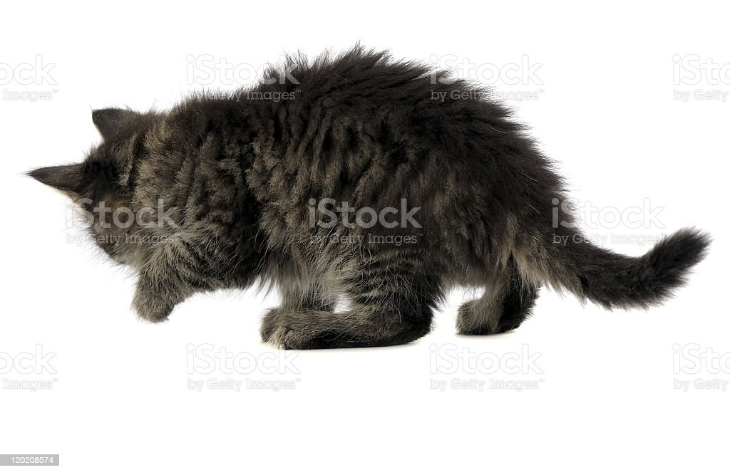 back view of kitten royalty-free stock photo