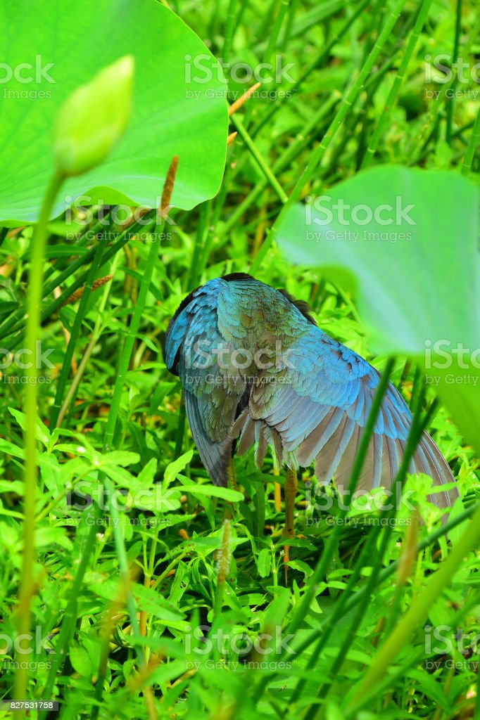 Back view of preening Purple Gallinule with wing feathers fanned out stock photo