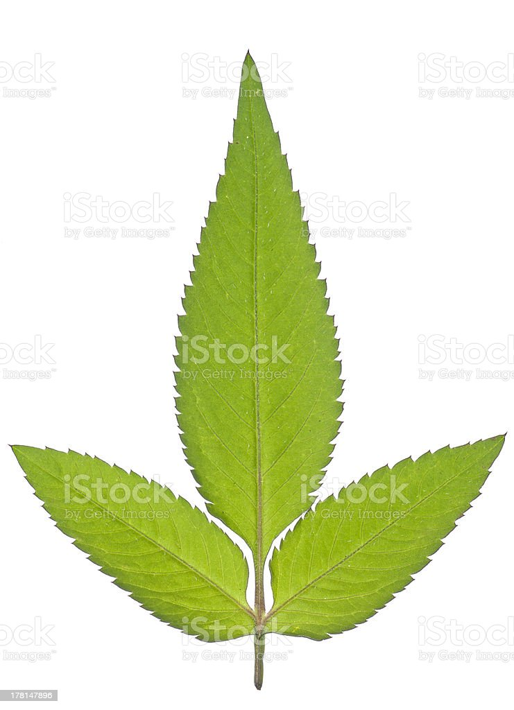 Back view of tripetal leaf stock photo