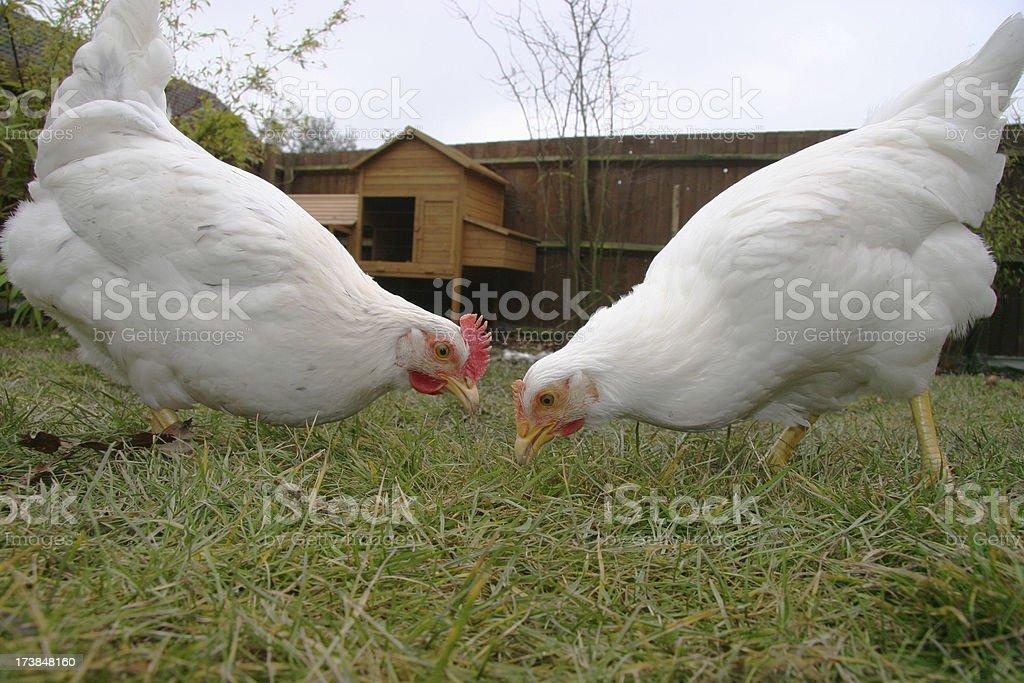 Back yard chickens stock photo