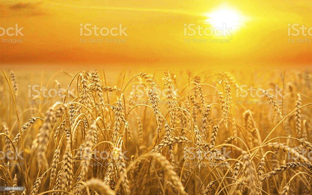 backdrop of ripening ears  yellow wheat field on  sunset stock photo