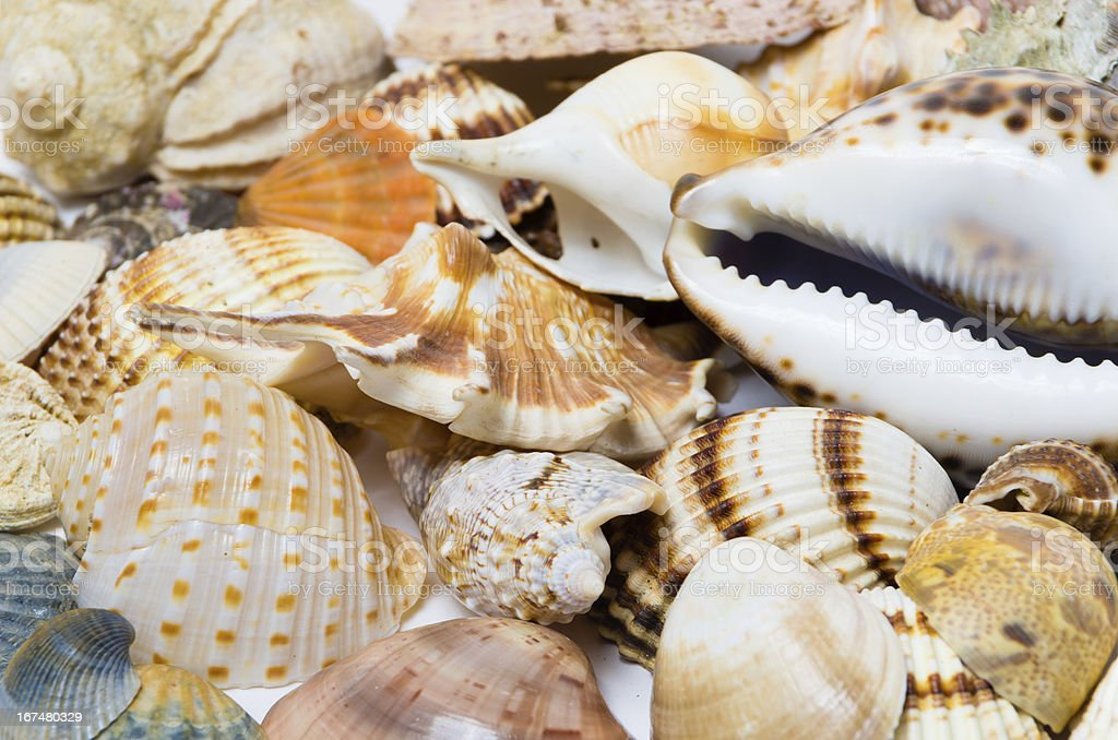 Backgrond from sea shells royalty-free stock photo