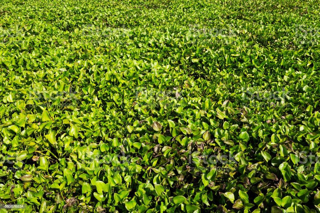 Background beautiful hyacinth leaves in lake stock photo