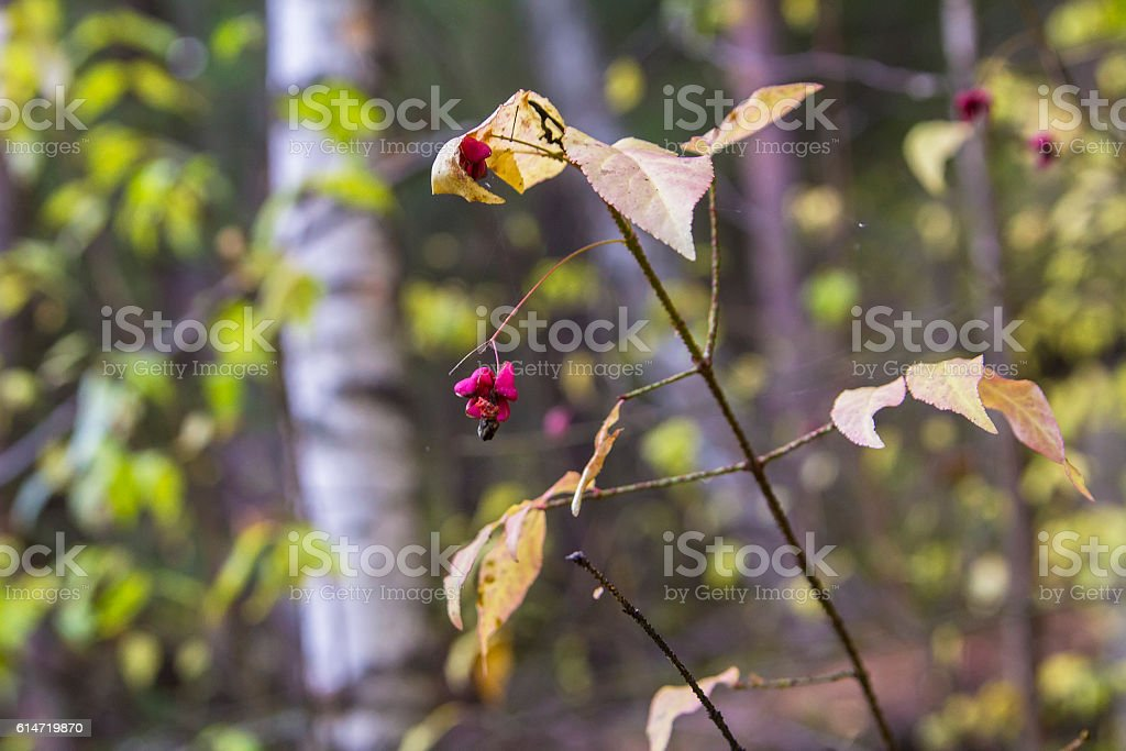 background beautiful landscape fir sprig of euonymus in reserve stock photo