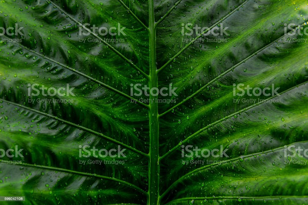 Background blur and abstract leaves.Water droplets on a green le stock photo