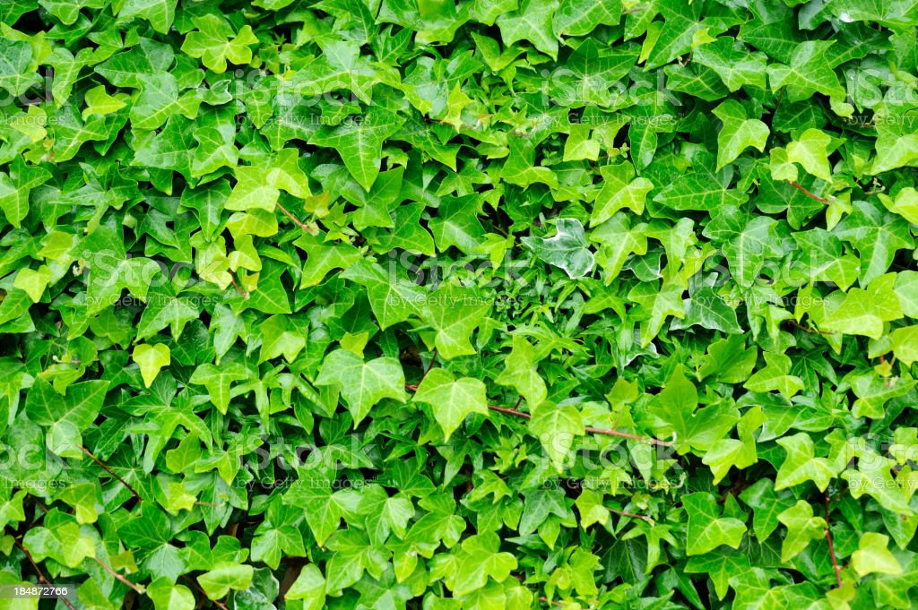 Background completely covered in green ivy royalty-free stock photo