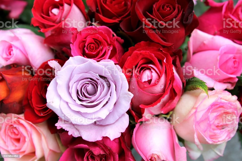 background desktop wallpaper, red and pink roses stock photo