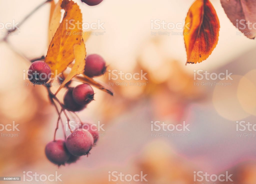 Background for Autumn with berries and leaves stock photo