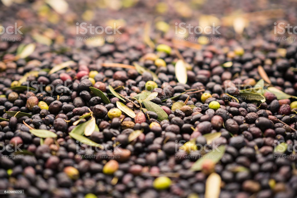 Background formed by freshly picked olives. stock photo