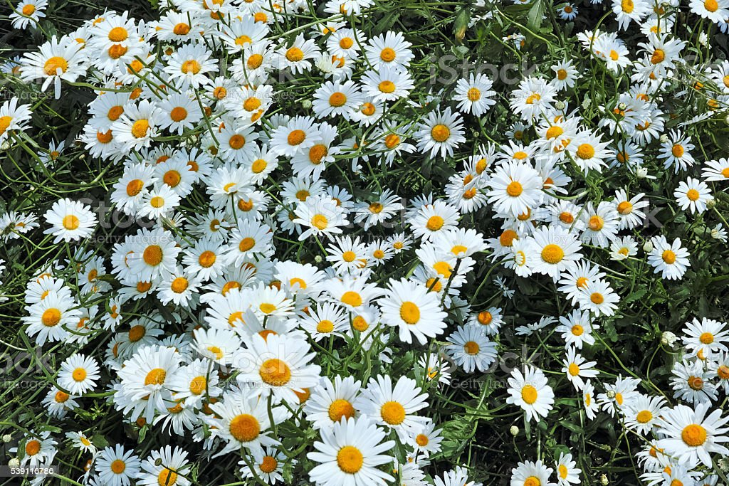 Background from a field of daisies stock photo