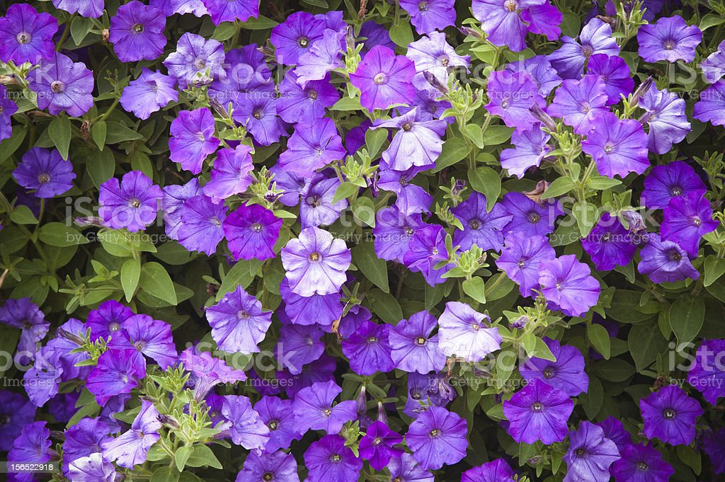 Background from beautiful dark blue flowers royalty-free stock photo