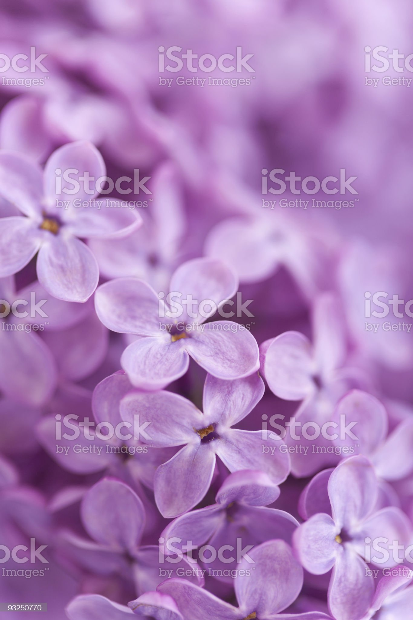 Background from fragrant lilac blossoms royalty-free stock photo