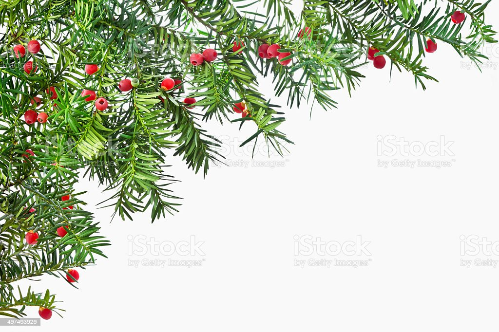 Background from green twigs yew with red ripe fruits. stock photo