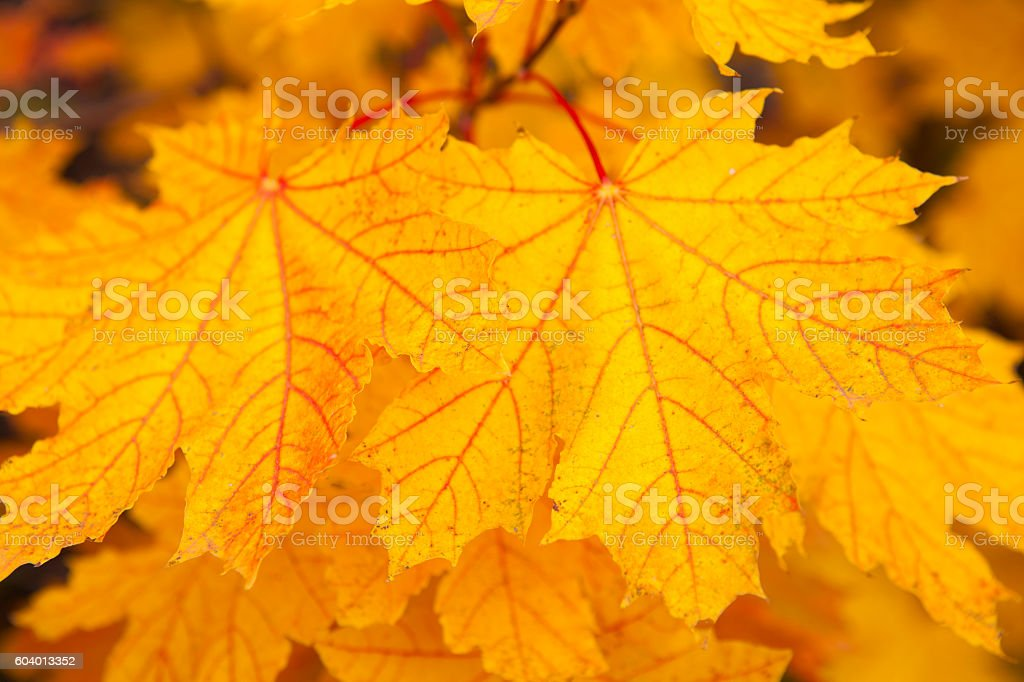 Background from yellow leaves of maple stock photo
