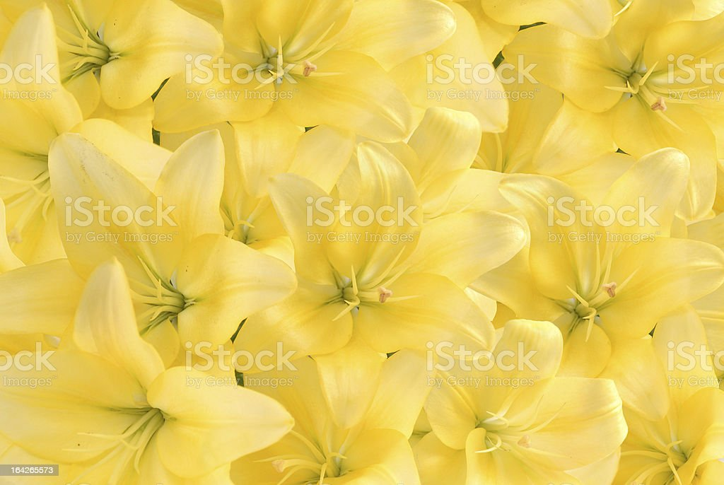 Background from yellow lilies royalty-free stock photo