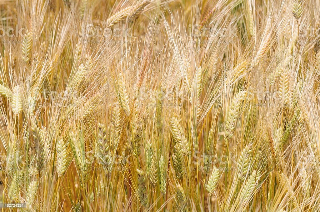 Background image of golden barley field stock photo
