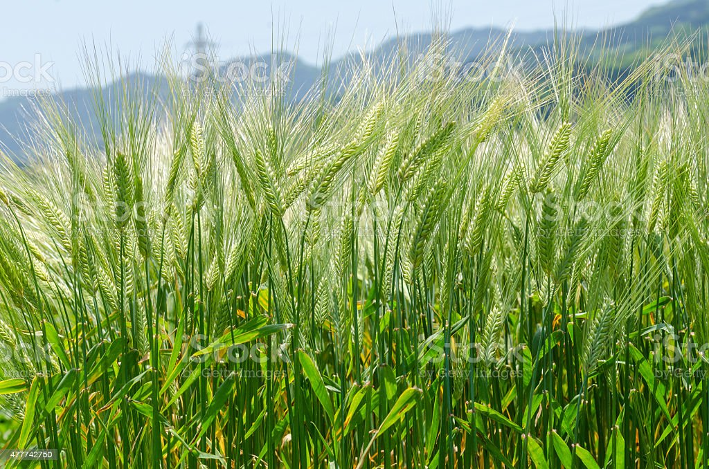 Background image of green barley field stock photo