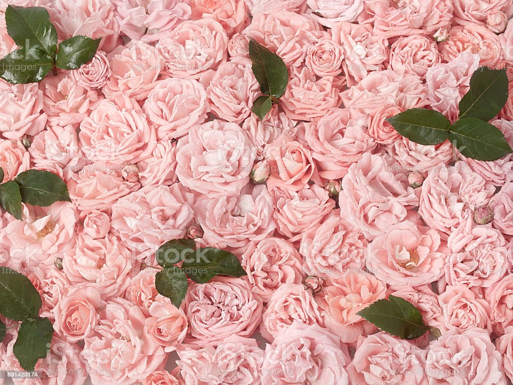 Background image of pink roses royalty-free stock photo