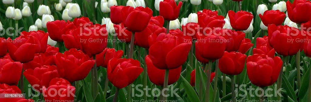 Background image of red tulips. stock photo