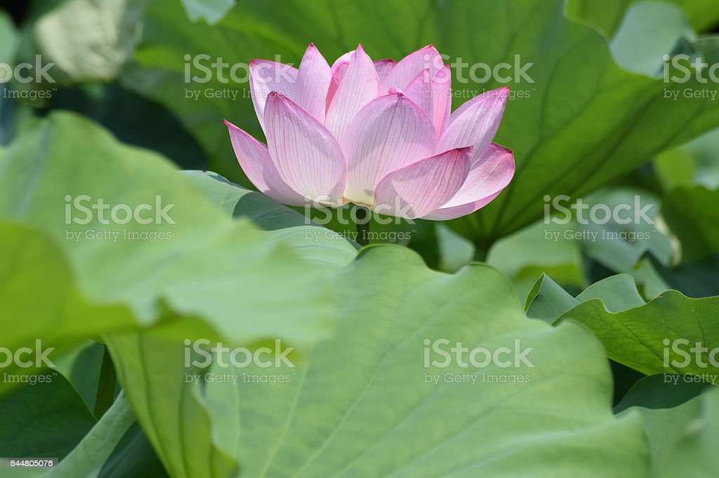 Background Japanese Lotus flower stock photo