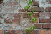 Background of a brick stone wall with green ivy leaves