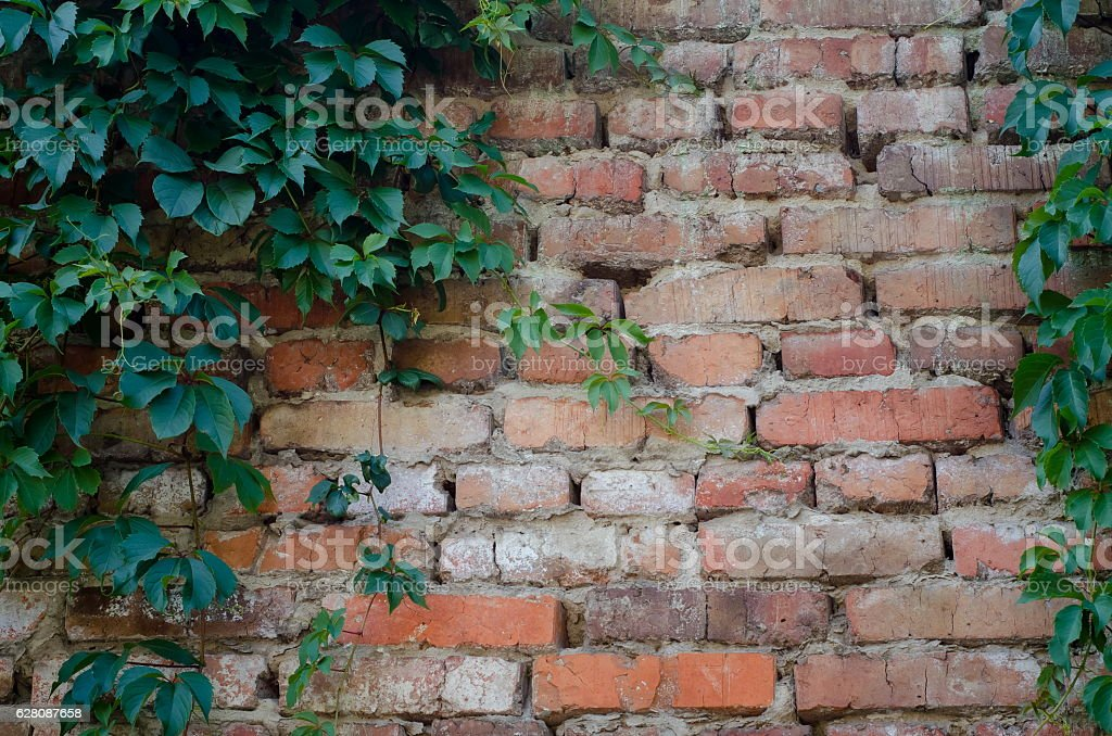 Background of a brick stone wall with green ivy leaves stock photo