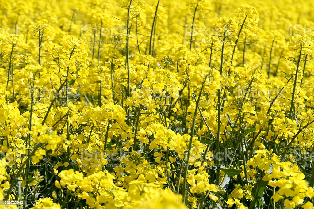 Background of a flowering rapeseed field in springtime. stock photo