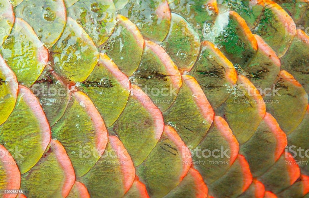 Background of arapaima fish scales stock photo