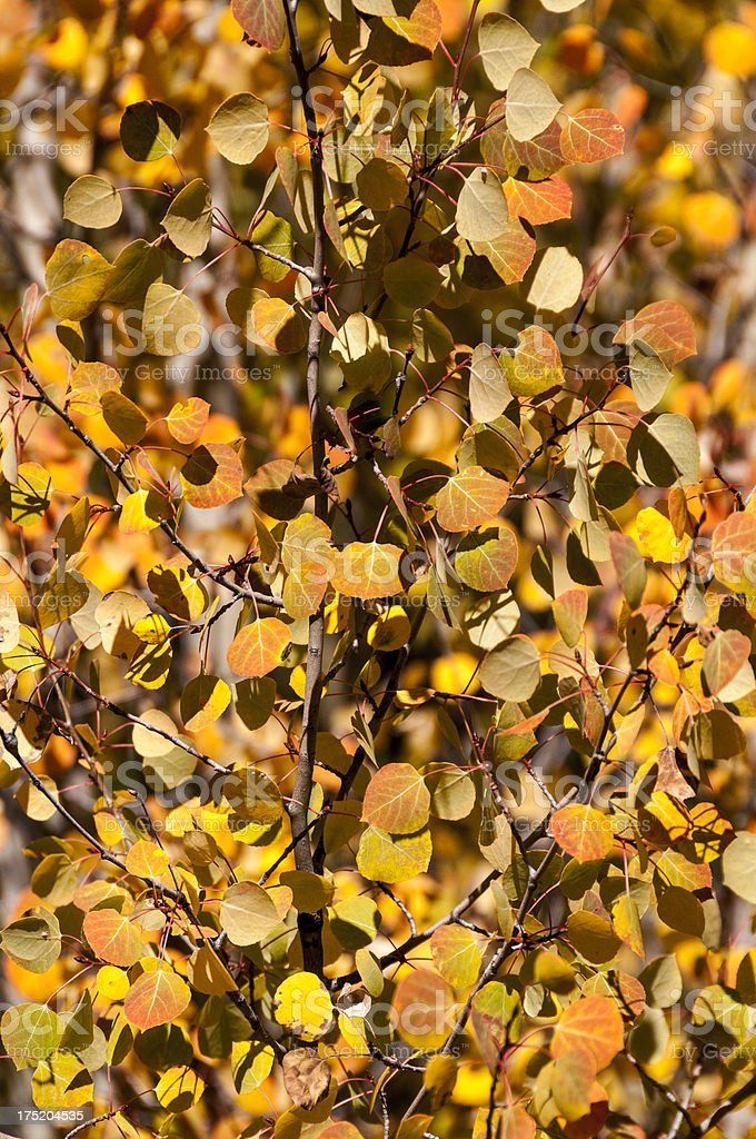 Background of Aspen Leaves in the Fall royalty-free stock photo